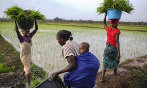Un grupo de mujeres guineanas recolecta el arroz en una parcela pública al norte del país.